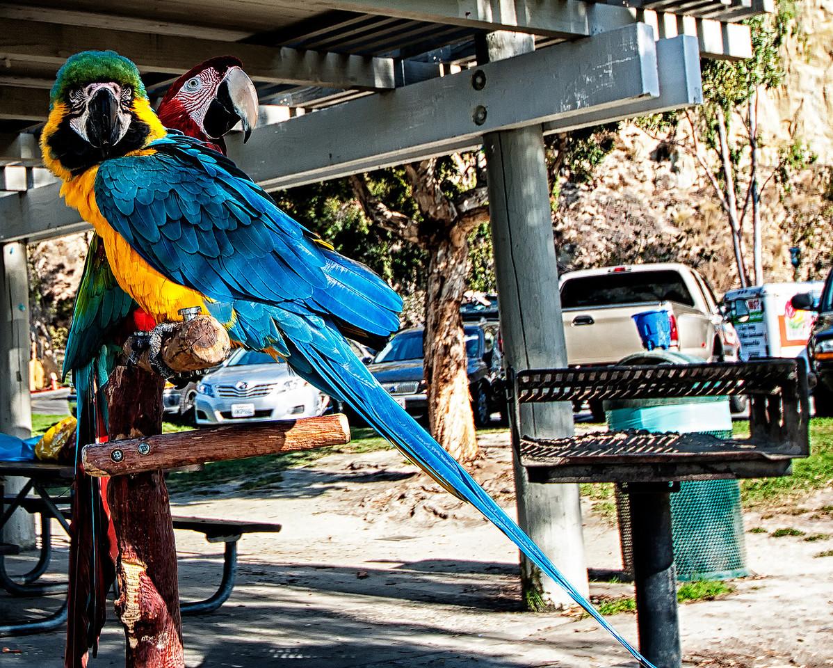 Pirate Parrots1