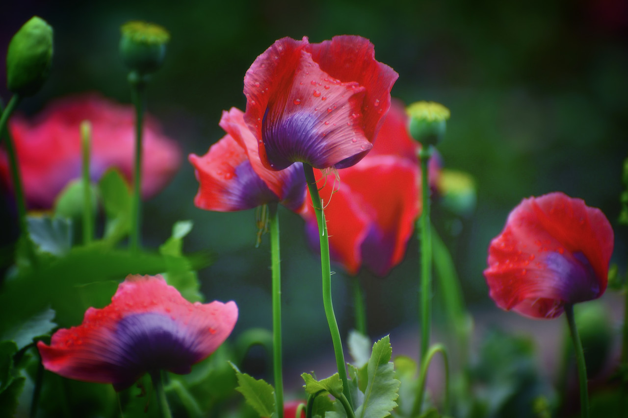 Soft red flowers