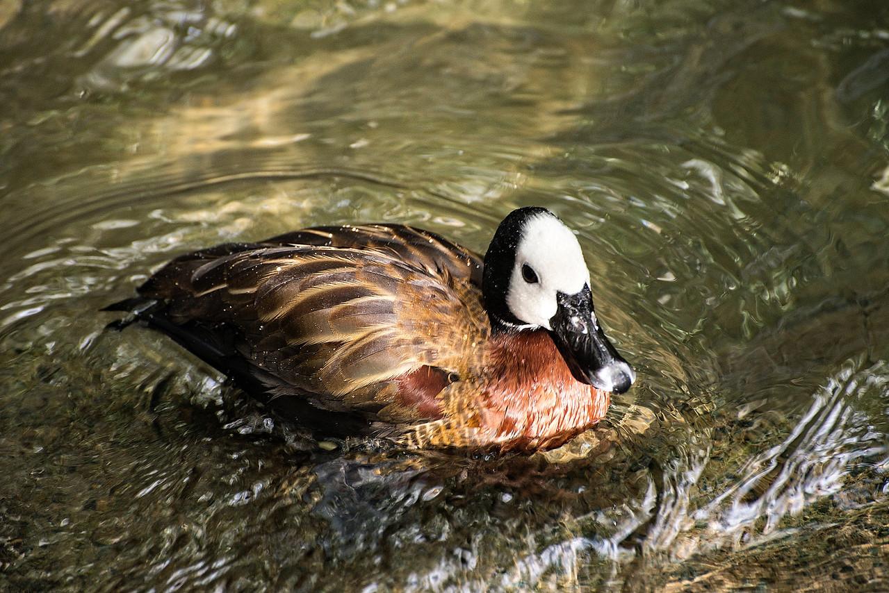 Duck#1