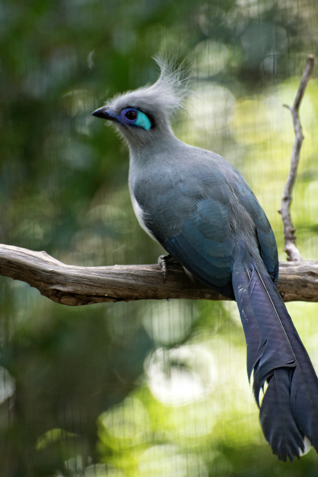 Blue Eye Bird